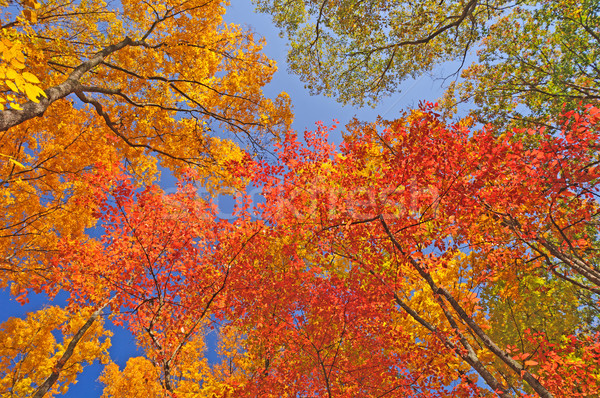 Fall Colors in the Forest Canooy Stock photo © wildnerdpix