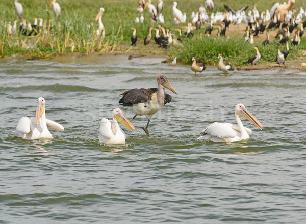 Marabou Stork chasing Three Great White Pelicans Stock photo © wildnerdpix