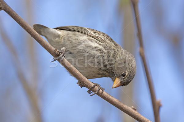 Small Female Ground Finch Stock photo © wildnerdpix