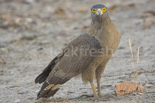 Crested Serpent Eagle on the Ground Stock photo © wildnerdpix