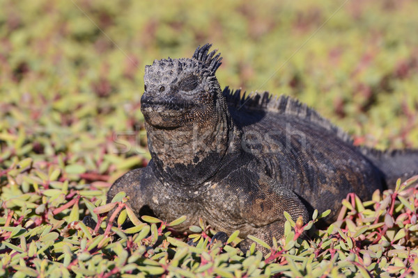 Marine Iguana Resting in Coastal Vegetation Stock photo © wildnerdpix