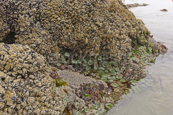 Barnacles, Clams, and Anemones at Low Tide Stock photo © wildnerdpix