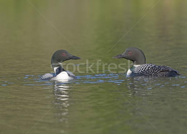 Loons Meeting on a Wilderness Lake Stock photo © wildnerdpix
