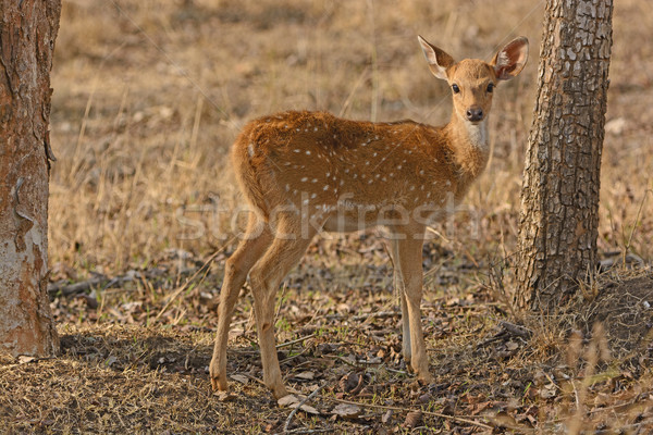 Young Spotted Deer in the Forest Stock photo © wildnerdpix