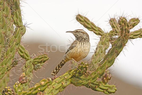 Foto stock: Cacto · deserto · montanhas · grande · parque