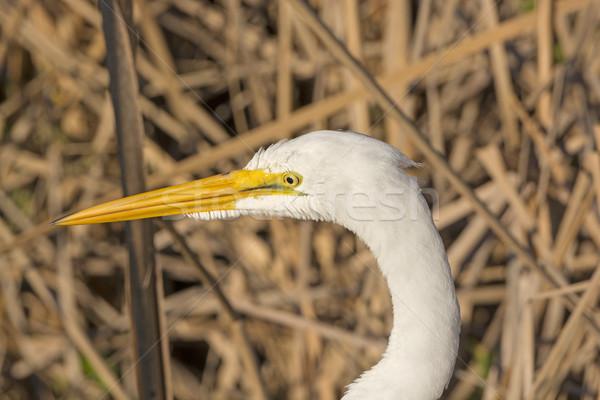 Head of a Great Egret Stock photo © wildnerdpix