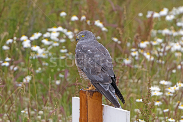Cinereous Harrier Looking for Prey Stock photo © wildnerdpix