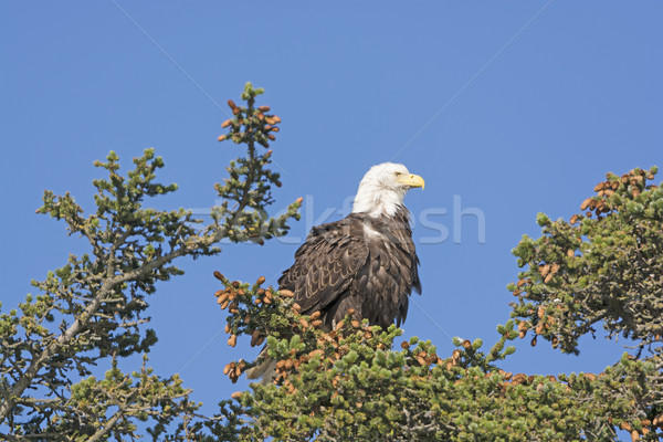 Bald Eagle Watching the Landscape Stock photo © wildnerdpix
