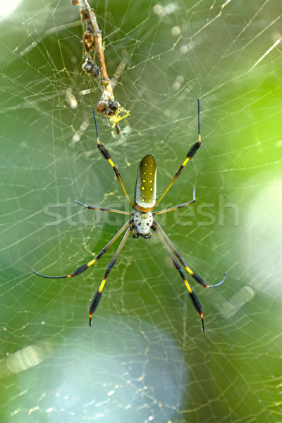 Altın küre örümcek orman park doğa Stok fotoğraf © wildnerdpix