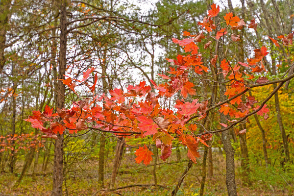 Stock photo: Red Maple Leaves in Fall