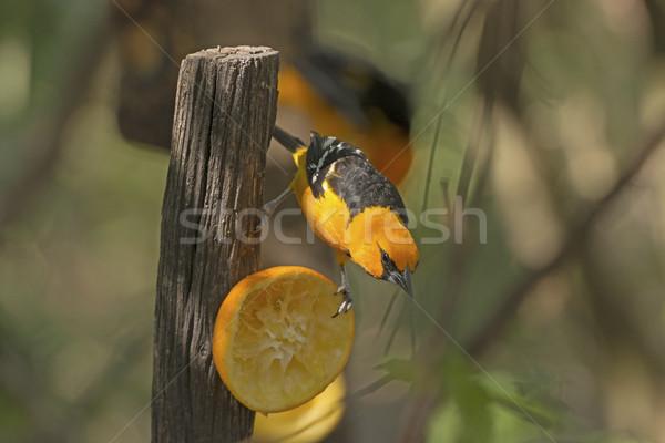 Faune nature oiseau biologie Photo stock © wildnerdpix