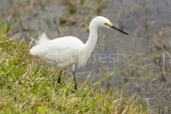 Snowy Egret in a Wetland Stock photo © wildnerdpix