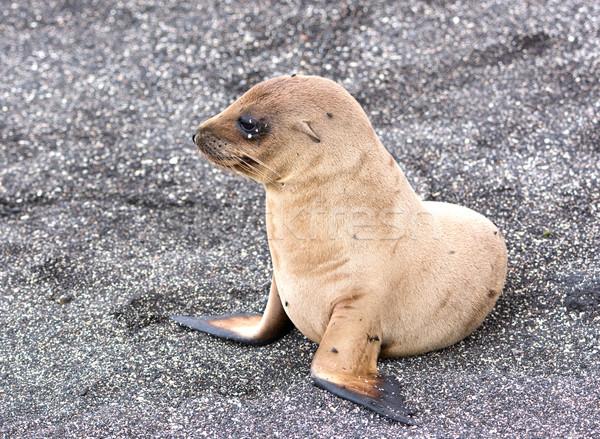 A Baby Galapagos Sea Lion Stock photo © wildnerdpix