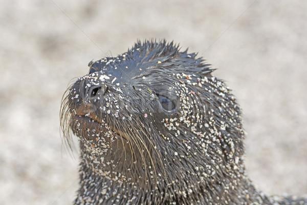Oroszlánfóka baba tengerpart természet tájkép természetes Stock fotó © wildnerdpix