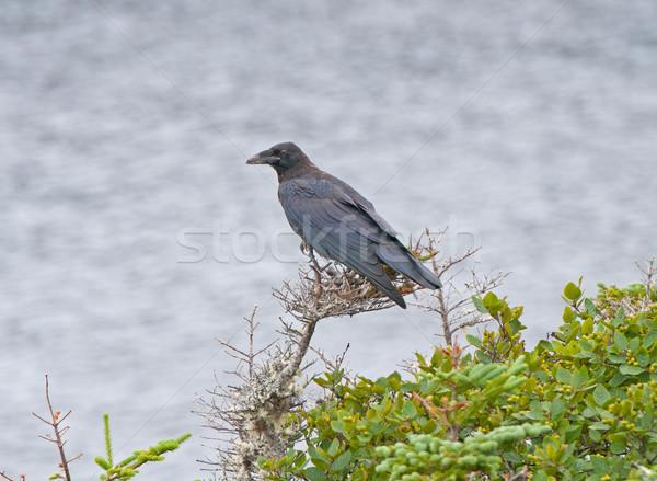 Raven in a Coastal Tree Stock photo © wildnerdpix