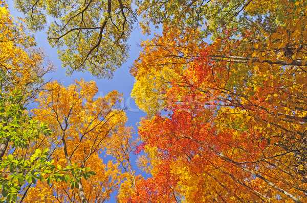 Falls Colors in  the Forest Canopy Stock photo © wildnerdpix