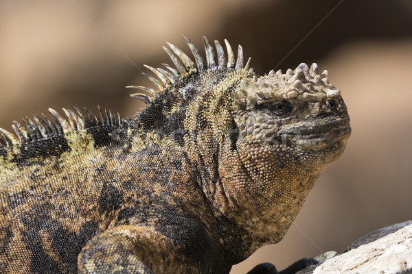Male Marine Iguana sunning on a rock Stock photo © wildnerdpix