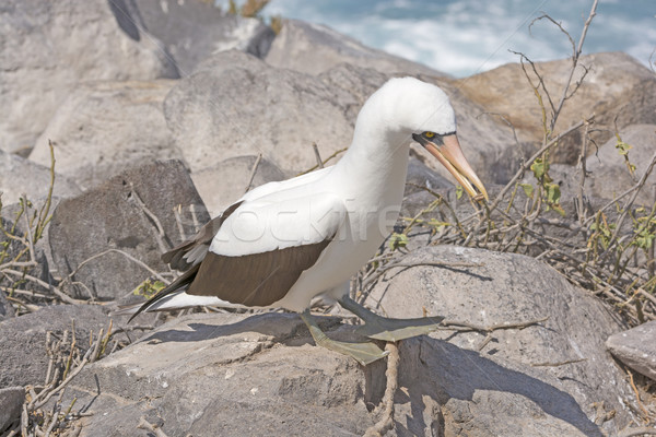 Nazca Booby Holding a Stick for its Nest Stock photo © wildnerdpix