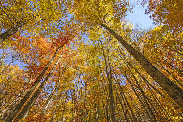 Looking up into the Fall Colors Stock photo © wildnerdpix