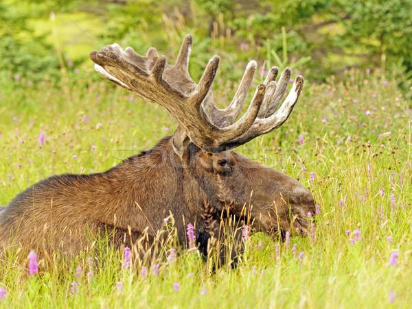 Eland weide mannelijke natuur dier Canada Stockfoto © wildnerdpix