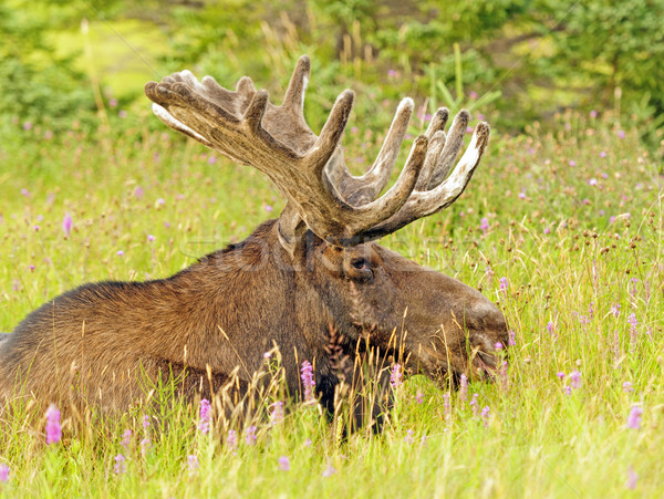 Alce prado masculino natureza animal Canadá Foto stock © wildnerdpix