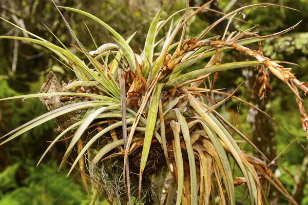 Bromeliad in a Tropical Tree Stock photo © wildnerdpix