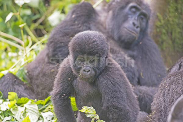 Young Mountain Gorilla in its Family Group in the Cloud Forest Stock photo © wildnerdpix