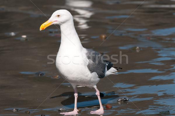 Gull on the Ocean Coast Stock photo © wildnerdpix