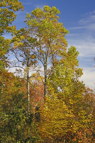 Tall Tree in Fall Colors Stock photo © wildnerdpix