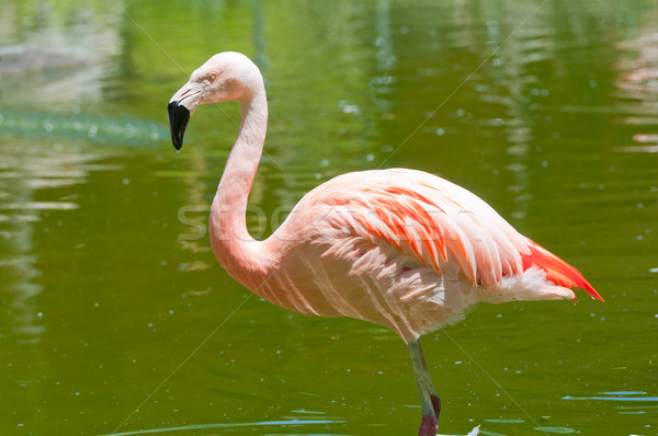 Flamingo in Tropical Pond Stock photo © wildnerdpix