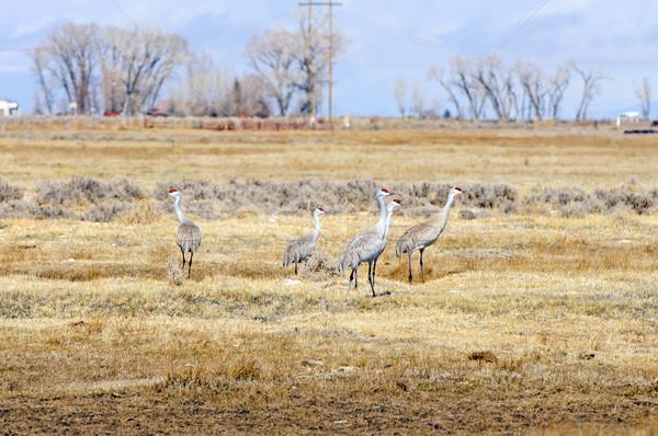 Sandhill Cranes on A Fallow Field Stock photo © wildnerdpix