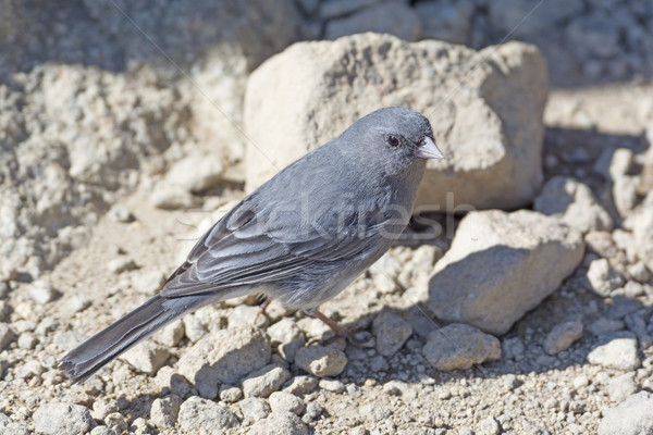 Dark-Eyed Junco on a Mountain Top Stock photo © wildnerdpix