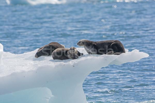 Sea Otters on an Ice Berg Stock photo © wildnerdpix