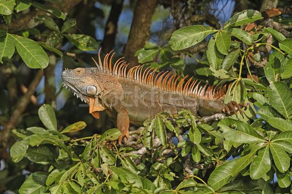 Kleurrijk mannelijke leguaan boom park natuur Stockfoto © wildnerdpix
