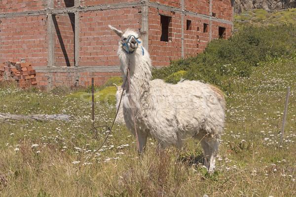 Lama wachten rand stad dier afstandsbediening Stockfoto © wildnerdpix