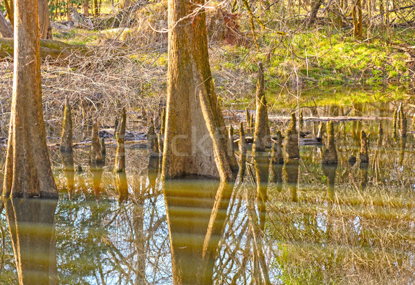 Reflections in the Calm Waters of a Bottomland Forest Stock photo © wildnerdpix