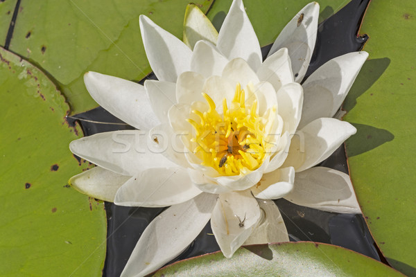 White Water Lily on a North Woods Lake Stock photo © wildnerdpix
