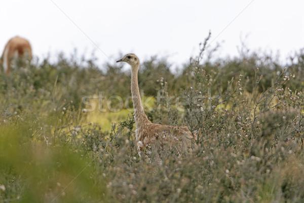 Rhea in its grassland habitat Stock photo © wildnerdpix