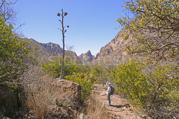 Hiker looking at the remains of a century plant stalk Stock photo © wildnerdpix