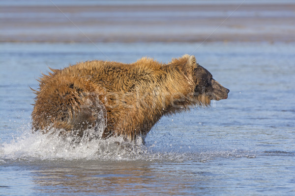 Bear Chasing fish  Stock photo © wildnerdpix