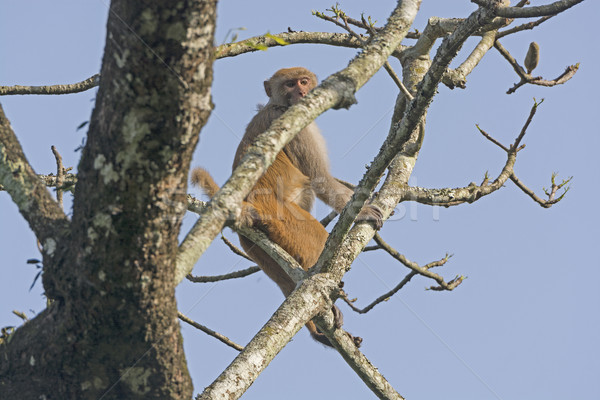 Maymun yüksek ağaç park Hindistan biyoloji Stok fotoğraf © wildnerdpix