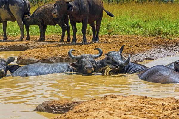 Male and Female Cape Buffalo in a Water Hole Stock photo © wildnerdpix
