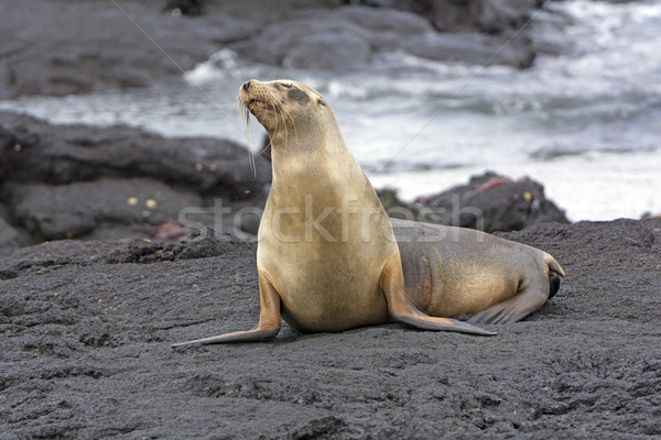 Galapagos Sea LIon on a Lava Bed Stock photo © wildnerdpix