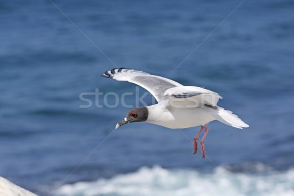 Swallow Tailed Gull in Flight Stock photo © wildnerdpix
