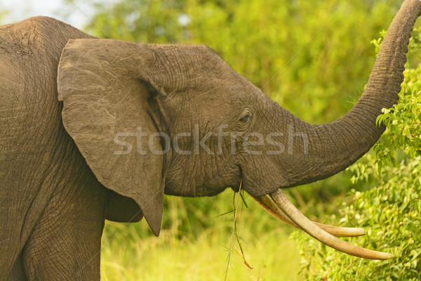 African Elephant with large tusks Stock photo © wildnerdpix