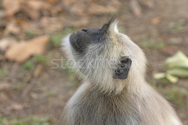 Langur looking into the Trees Stock photo © wildnerdpix
