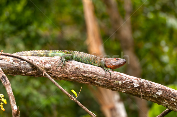 Caiman Lizard basking on a rain forest branch Stock photo © wildnerdpix