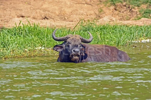 Cape Buffalo in an African River Stock photo © wildnerdpix
