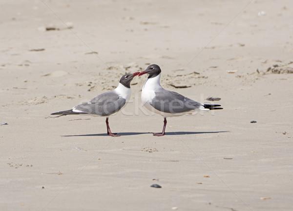 A Pair of Laughing Gulls Nuzzling on a Beach Stock photo © wildnerdpix