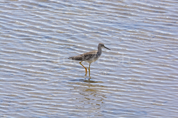 Greater Yellowlegs in a Wetland Habitat Stock photo © wildnerdpix
